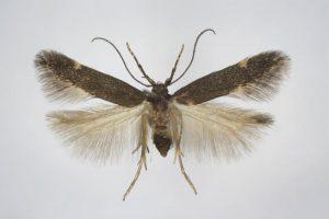 horsea-moth